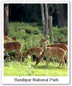 Spotted deers in Bandipur National Park