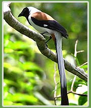 White-bellied Treepie in Periyar