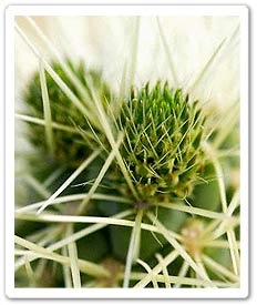 Spines of a Jumping Cholla