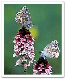 adonis blues on burnt orchid