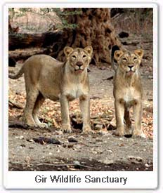 Indian lions in Gujarat in Gir a wildlife sanctuary