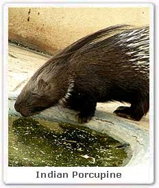 Indian Porcupine