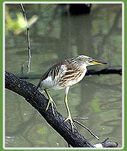 Pond Heron in Bharatpur National Park