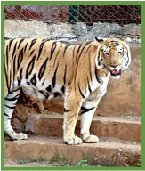 Tiger in Nandankanan Zoo